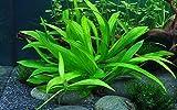 Tropica Aquarium Pflanze Helanthium 'Quadricostatus' Wasserpflanzen...