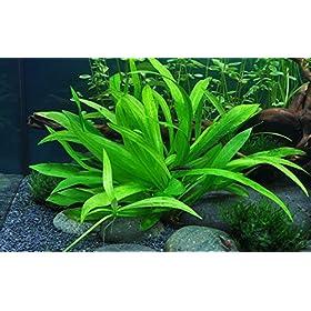 Tropica Aquarium Pflanze Helanthium 'Quadricostatus'