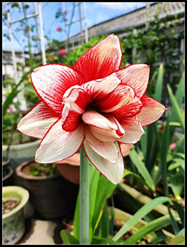 Amaryllis Flower Bulbs for Sale,Graceful Rare Species Plants,Sweet Solid Flower Potted,Gentle Flower,Red,1 Bulb