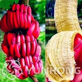 Elitely - Juego de 100 semillas de plátano de color blanco y rojo