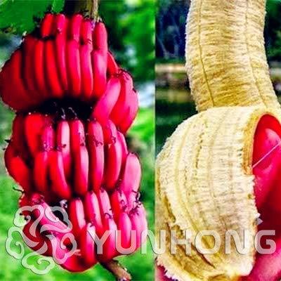 Elitely Schneewittchen-rote Bananen-Samen, leckeres Obst in Ihrem Hinterhof, leicht anzubauender Topf-Samen, Gartentopf, 100 Stück