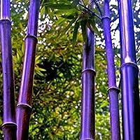 Soteer Seed House - 100 Piezas Invierno Exótico Semillas de bambú resistentes