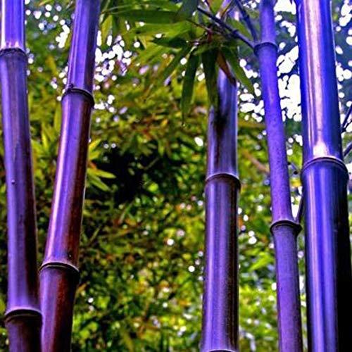 Beautytalk Garten- 100 Pcs Bunte Bambus Samen Riesenbambus Zierpflanzen Hausgarten Mehrjährig winterhart