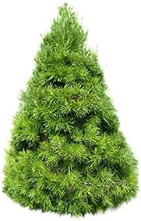 Homegrown Pine Tree Seeds, 100 Seeds, Virginia Pine Tree