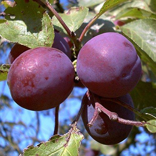 Pflaumenbaum, Graf Althans, Prunus domestica, Obstbaum winterhart, Pflaume blau violett, im Topf, 120 - 150