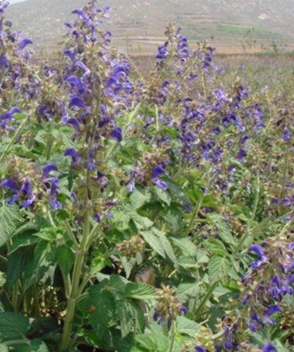Sage roja (Salvia miltiorrhiza) Semillas Dan Shen -USA- 100200300