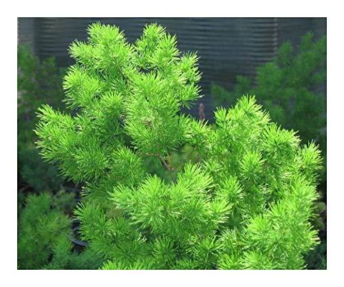Asparagus retrofractus - Zierspargel - 10 Samen