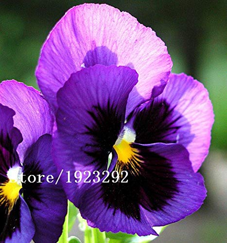 Bloom Green Co. 100 charming White Viola Tricolor Pansy Flower Seeds easy-to plant perennial bonsai potted DIY home& garden original packing A087: Green