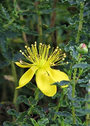 Portal Cool Balearen-Johanniskraut Balearic Johanniskraut gelbe Blume 20 Samen Strauch Ukfreep