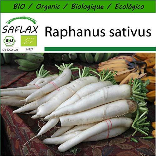 SAFLAX - BIO - Radis - Daïkon - 100 graines - Raphanus sativus