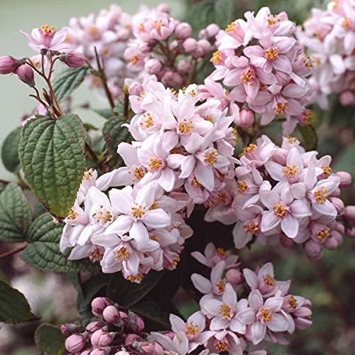 Deutzia Hybrida 'Mont Rose' -...