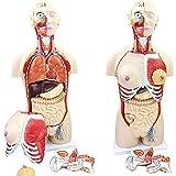 WFLRF Modèle D'enseignement Anatomique Organes Internes Médicaux Anatomiques De Modèle Humain pour Les Étudiants en Médecine Fournitures Pédagogiques 29 Pièces 85CM