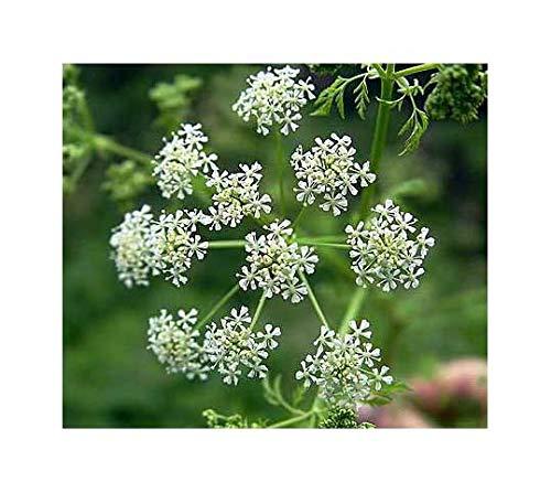 Königskümmel - Ajowan - Carum copticum - 500 Samen