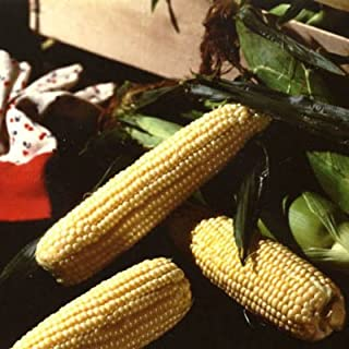 Sweet Corn Illini Xtra-Sweet F1 - Insect Guard Treated Vegetable Seeds - Approx. 250 Seed Package