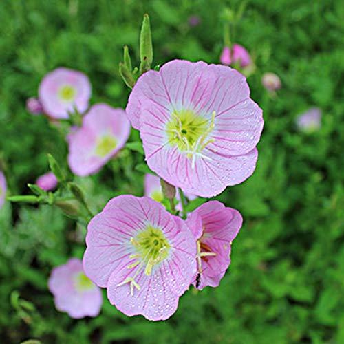 yanbirdfx Blumen Samen für Garten und Balkon-300 Stück Nachtkerzensamen Pflanze Balkon Garten Bonsai Blume Büro Dekor - Rosa Nachtkerzen Samen *