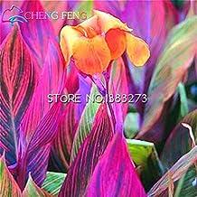Portal Cool Centella Asiatica - Centella Asiática - Semillas de plantas tropicales raras (15)