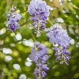 Wisteria sinensis- Blauregen Kletterpflanze 60-100cm 2L Topf gewachsen -