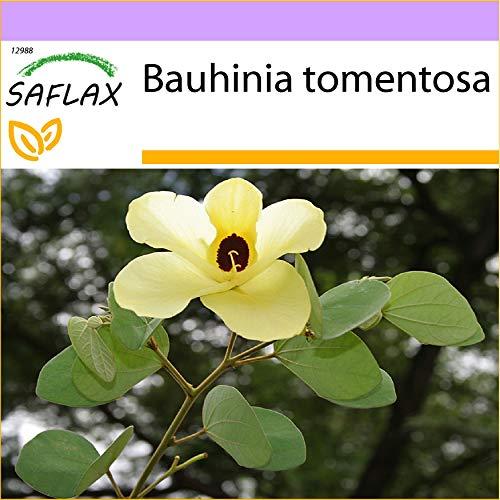 SAFLAX - Arbre aux tulipes - 30 graines - Bauhinia tomentosa
