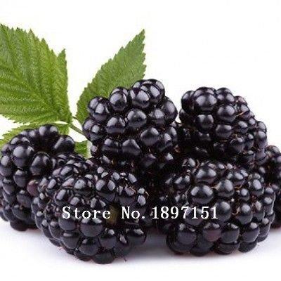 Grande vente 100seeds Pre-stratifiées Jumbo Seeds Thornless Blackberry, juteux, doux, graines de fruits sains