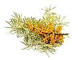50 semi di olivello spinoso/Hippophae rhamnoides - Facile da coltivare