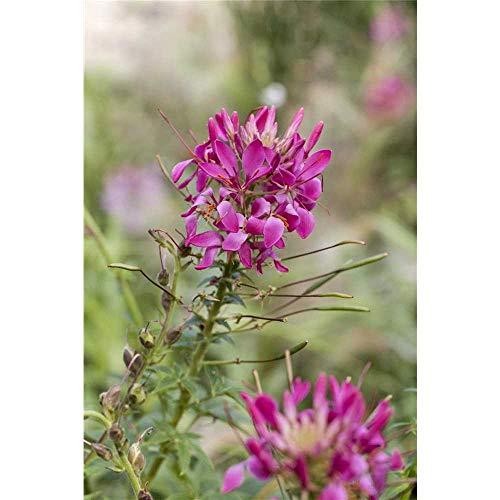 Cleome spinosa, rosa - Spinnenblume - im Topf 13 cm, in Gärtnerqualität von Blumen Eber - 13 cm