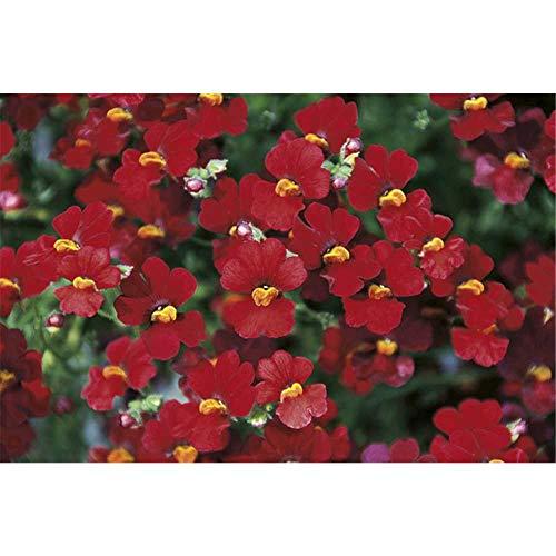 Nemesia Sunsatia, rot, Elfenspiegel - im Topf 11 cm, in Gärtnerqualität von Blumen Eber - 11 cm