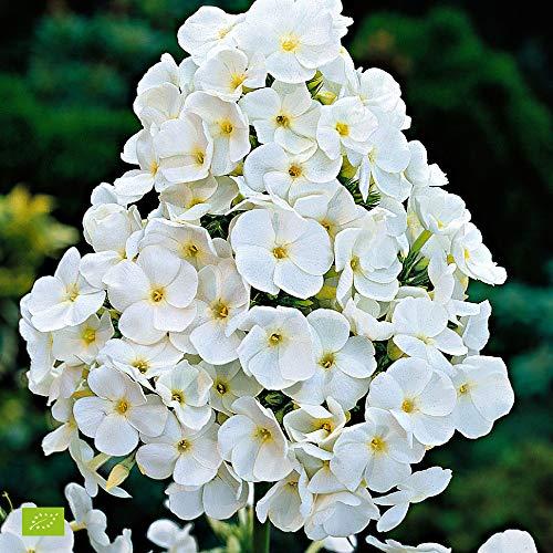 Phlox paniculata'White Admiral'   Phlox...