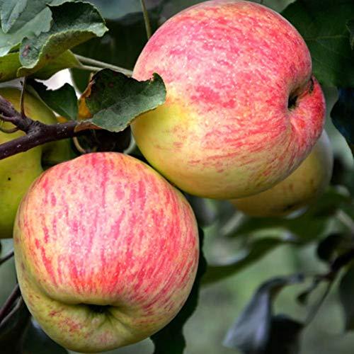 Apfel Borowinka, Sommerapfel, Apfelbaum...