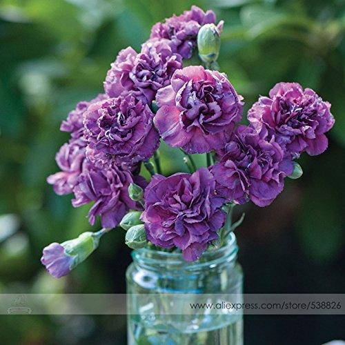 Purple Rain 'les Dianthus plus rares Graines Carnation Fleur, Paquet professionnel, 50 graines / Pack, Hardy Perennial Bonsai Fleur