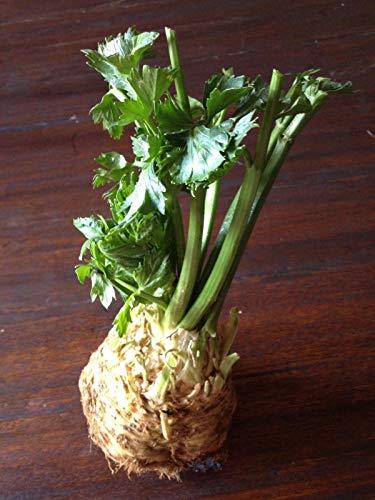 Portal Cool 1000 Samen Celeriac Weiß/Früh/mittlere Garten-Gemüse