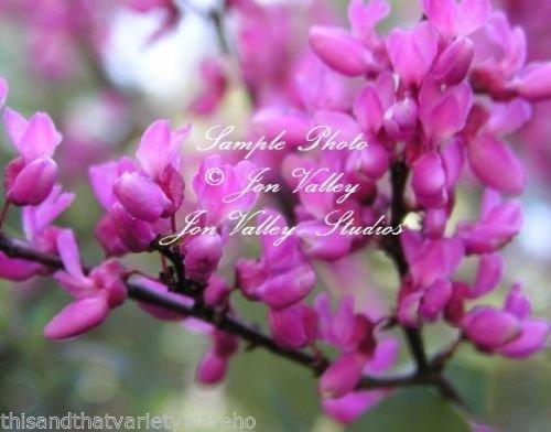 Ouest Redbud Cercis occidentalis Graines Bonsai et plate-forme Tropical Gardens Rose (20 graines)