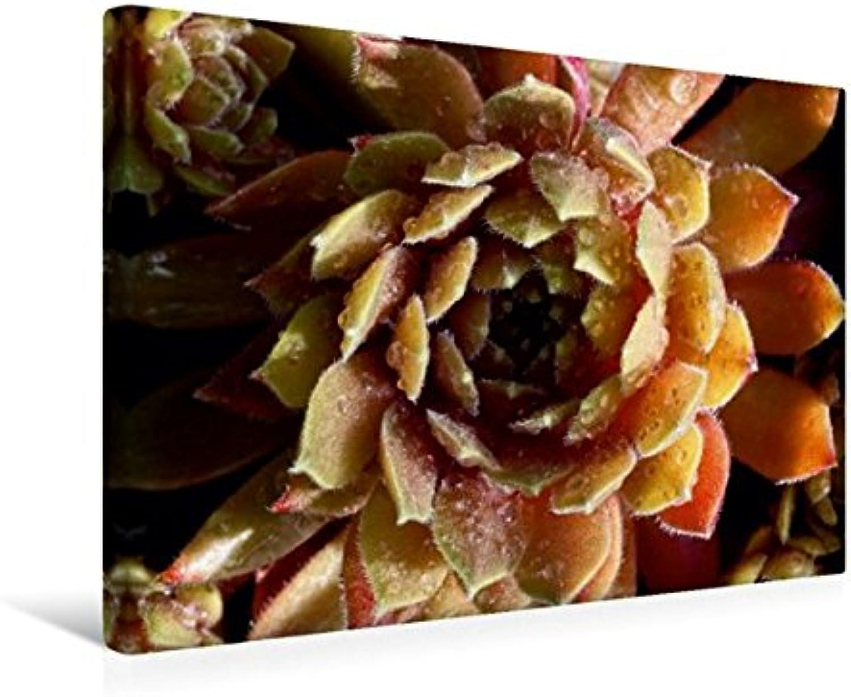 Calvendo Premium Textil-Leinwand 45 cm x 30 cm Quer, Sempervivum Rosa Mädchen   Wandbild, Bild auf Keilrahmen, Fertigbild auf Echter Leinwand, Leinwanddruck Natur Natur B01L1UA40S Guter Markt  | Einzigartig