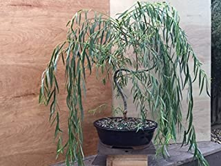 Bonsai Golden Weeping Willow Tree Cutting - Large Thick Trunk Rooited Tree Cut - Mature Bonsai Look Fast - Beautiful Arching Branches