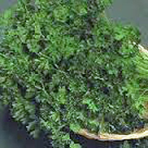 SEED, Persil VERT FONCE ITALIEN VERT, Heirloom, BIO, NON OGM, 1000 graines