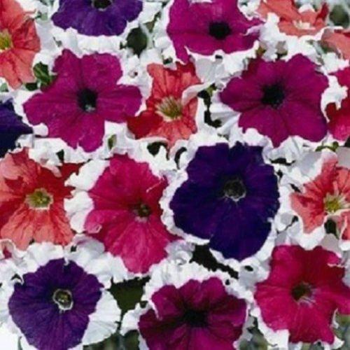 Petunia × hybrida graines de Petunia nain  Daddy rouge F1 10 graines