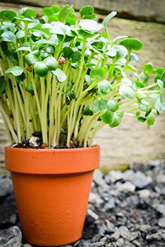 Samen für Sprossen - brauner Senf (Brassica juncea) - 12000 samen