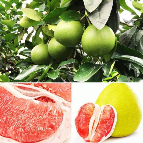 ScoutSeed 20 STÃœCKE Thai Pomelo Samen Maxima Obst Dekor Pflanze Bonsai Hausgarten Farbe