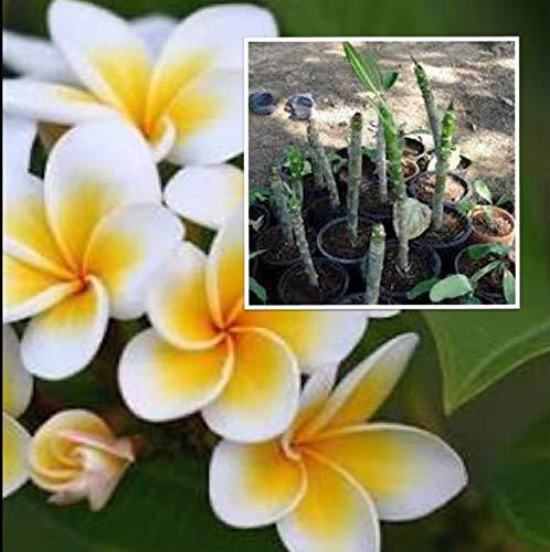 SANHOC Samen Paket: Plumeria Samen, Frangipani Blüte weiß-gelb Stecklinge 7-10 Zoll für Seeding