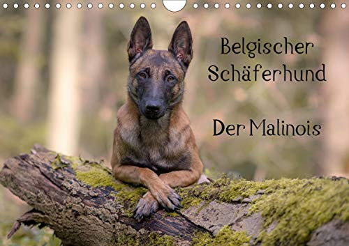 Belgischer Schäferhund - Der Malinois (Wandkalender 2021 DIN A4 quer)