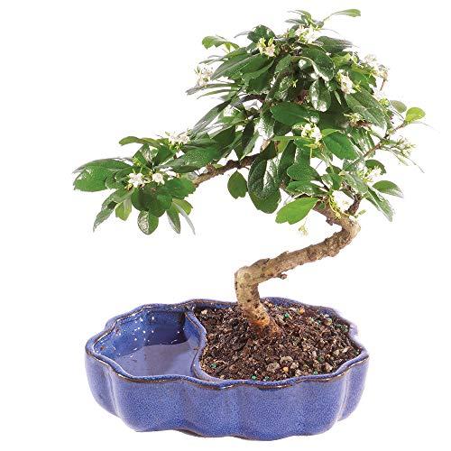 Brussel's Bonsai Live Fukien Tea Indoor Bonsai Tree in Zen Reflections Pot-4 Years Old 8' to 10' Tall
