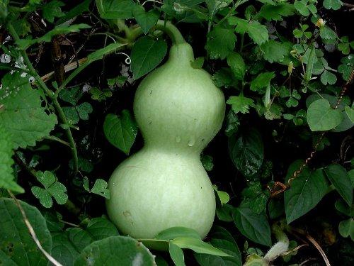 Lagenaria siceraria, bottle, birdhouse, calabash, trumpet gourd, 15 graines