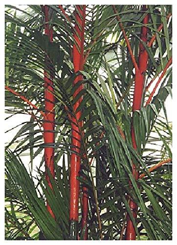 TROPICA - Rotstielpalme / Siegellackpalme (Cyrtostachys renda) - 10 Samen