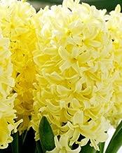 Yellow Queen Hyacinth Bulbs - Pack of 10 bulbs 16/17CM