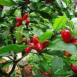 AGROBITS Rare Miracle Fruit 20pcs SeeGarden Voir