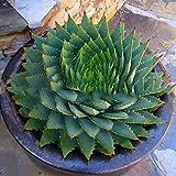 Semillas de Aloe Vera, 100 piezas / Semillas bolsa de Aloe Vera Evergreen delicioso saludable Rápido Crecimiento Vegetable Seeds para el jardín