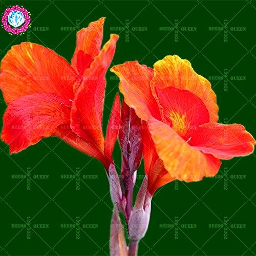 Nouveau est arrivé! 10 pcs/sac graines Canna décoration herbes vivaces en pot Maison et jardin 95% fleur plante bonsaï taux de germination 1