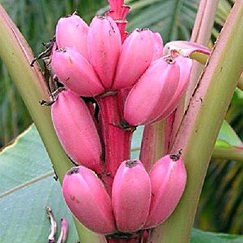 Bananier Graines de fruits rares Mini Bonsai Rose Banana Graines Musa velutina Sementes da Fruta Décoration de jardin