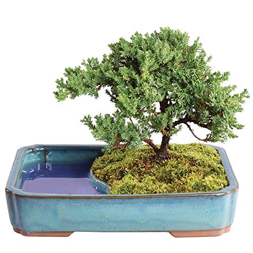 Brussel's Bonsai Live Green Mound Juniper Outdoor Bonsai Tree in Water Pot-4 Years Old 8' to 10' Tall