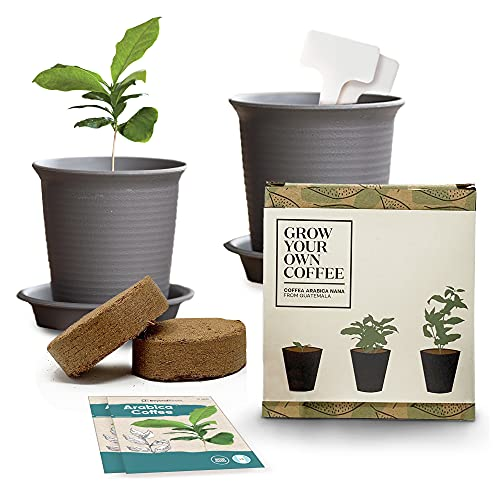 Coffee Bean Plant
