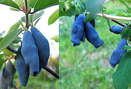 Gimolost 3 Pflanzen Sparset. Honigbeere, Sibirische Blaubeere,Lonicera kamtschatica